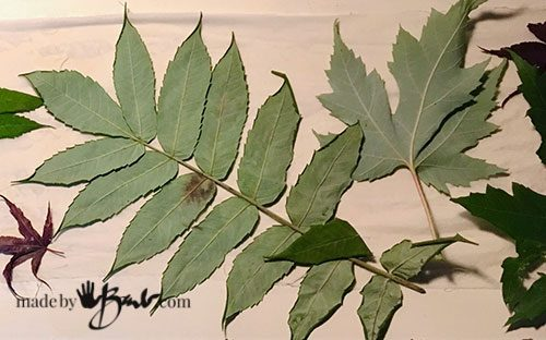back side of maple and sumac leaves